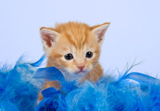 Kitten lying snug in blue feathers Royalty Free Stock Images