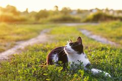 Cute kitten lying in a Sunny green meadow on a warm summer evening funny raising her muzzle with a long mustache. Kitten lying in a Sunny green meadow on a warm royalty free stock image