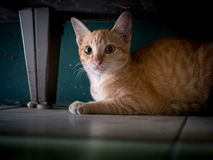 Kitten Lying under tabellen fotografering för bildbyråer
