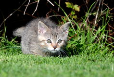 Kitten lying in wait for prey Stock Photography