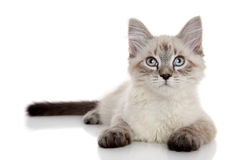 Kitten lying on a white background Royalty Free Stock Photo