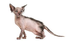 Kitten Lykoi cat, 7 weeks old Royalty Free Stock Photography