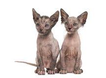 Kitten Lykoi-kat, 7 weken oud Stock Foto