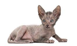 Kitten Lykoi katt, 7 gamla veckor arkivbild