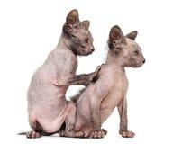 Kitten Lykoi-katten, 7 weken oud Stock Foto