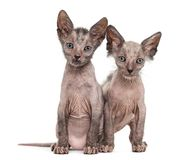 Kitten Lykoi kittens, 7 weeks old. Also called the Werewolf cat sitting together against white background royalty free stock images