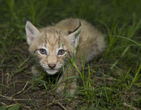 Kitten  of lynx Royalty Free Stock Photo