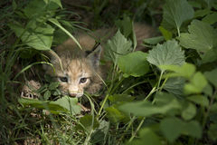 Kitten  of lynx Royalty Free Stock Photography