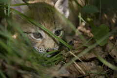 Kitten  of lynx Stock Image