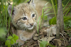 Kitten  of lynx Stock Photography
