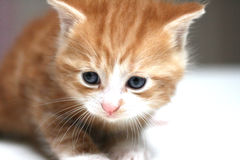 Kitten macro Royalty Free Stock Photos