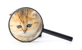 Kitten and a magnifying glass on white background. Royalty Free Stock Photography