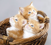 Kitten Maine Coon Stock Image
