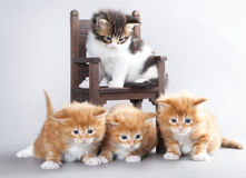 Kitten Maine Coon Stock Photos
