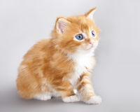 Kitten Maine Coon Stock Photo