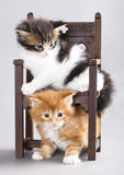 Kitten Maine Coon Stock Images