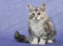 Kitten Maine coon Royalty Free Stock Image