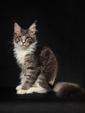 Kitten of Maine coon stock photography