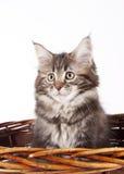 Kitten - Maine Coon Cat. A furry kitten is day dreaming inside a basket stock photos