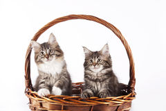 Kitten - Maine Coon Cat. A furry kitten is day dreaming inside a basket royalty free stock image