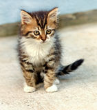Kitten of Maine Coon. Cute kitten Maine Coon is looking Stock Photography