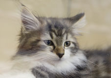 Kitten Maine Coon Royalty Free Stock Photos