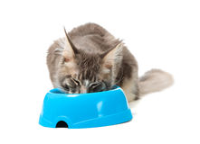 Kitten of Maine coon Royalty Free Stock Photography