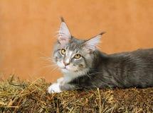 Kitten of Maine coon Stock Photos