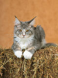Kitten of Maine coon Stock Images