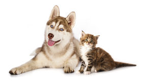 Kitten  Maine Coon and  husky puppy Stock Photos