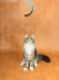 Kitten of Maine coon Royalty Free Stock Photos