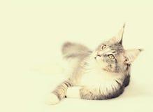Kitten of Maine coon Stock Image