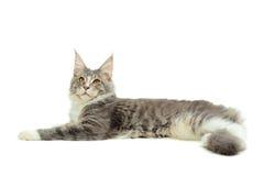 Kitten of Maine coon Stock Photography