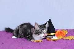 Kitten maine coon of striped color who licks his lips next to a pointed halloween hat royalty free stock photos