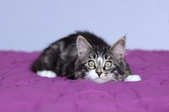 Kitten maine coon of striped gray color which monitors its prey in lying position Stock Images