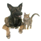 Kitten and malinois. Kitten and belgian shepherd malinois in front of white background Royalty Free Stock Photos