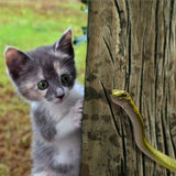 Kitten Meets Snake. A female gray calico kitten meets a snake stock images