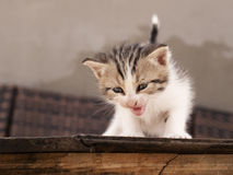 Kitten meowing Stock Image