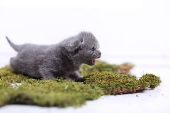 Kitten meowing on a green moss. British Shorthair newly born kitten meowing on a green moss Royalty Free Stock Photos
