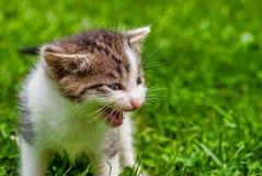 Kitten Meowing in het Gras royalty-vrije stock foto's