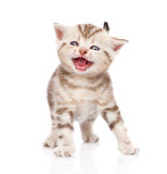 Kitten meowing. isolated on white background Royalty Free Stock Photo