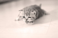 Kitten meowing. Small cute kitten meowing,  on a white background Royalty Free Stock Image