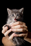 The kitten mews. In hands of the person Royalty Free Stock Images