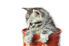 Kitten in a milkjug Royalty Free Stock Photography