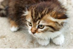 Kitten - Mine Coon Stock Images