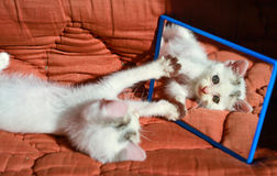 Kitten at the mirror Stock Photography