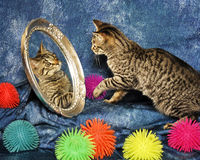 Kitten in a Mirror Royalty Free Stock Image