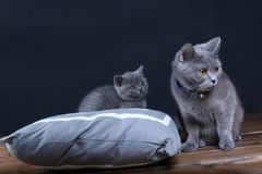 Kitten and mom cat sitting on a grey pillow. British Shorthair kitten playing with his mother on a soft grey pillow, close-up portrait, wooden floor Royalty Free Stock Photo