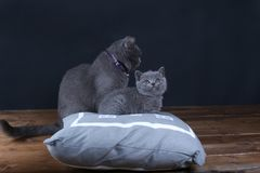 Kitten and mom cat sitting on a grey pillow. British Shorthair kitten playing with his mother on a soft grey pillow, close-up portrait, wooden floor Stock Images