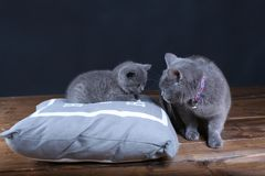Kitten and mom cat sitting on a grey pillow. British Shorthair kitten playing with his mother on a soft grey pillow, close-up portrait, wooden floor Stock Photography